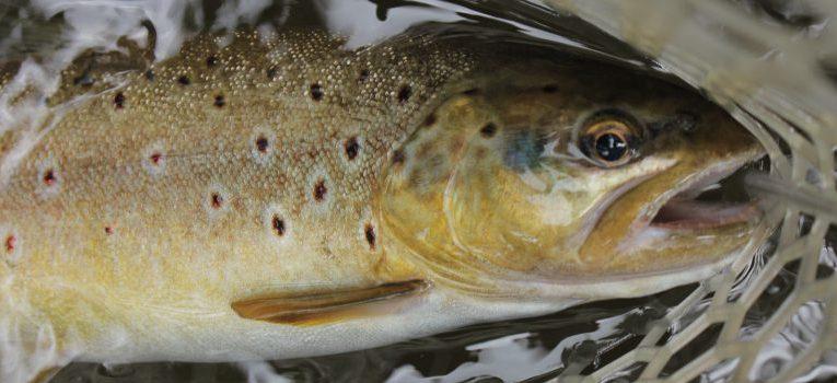 Fliegenfischen für Anfänger: Forellen Barben