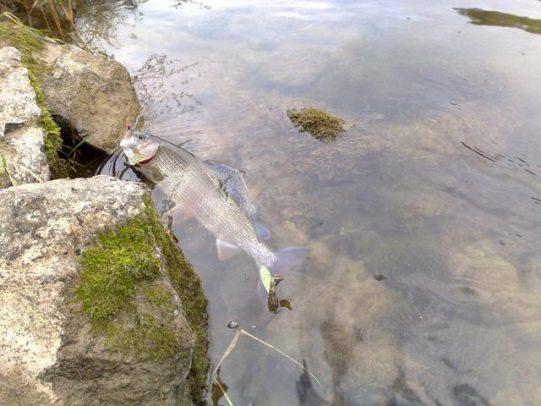 Eine wunderschöne Äsche - Grund genug für einen Einstieg ins Fliegenfischen!